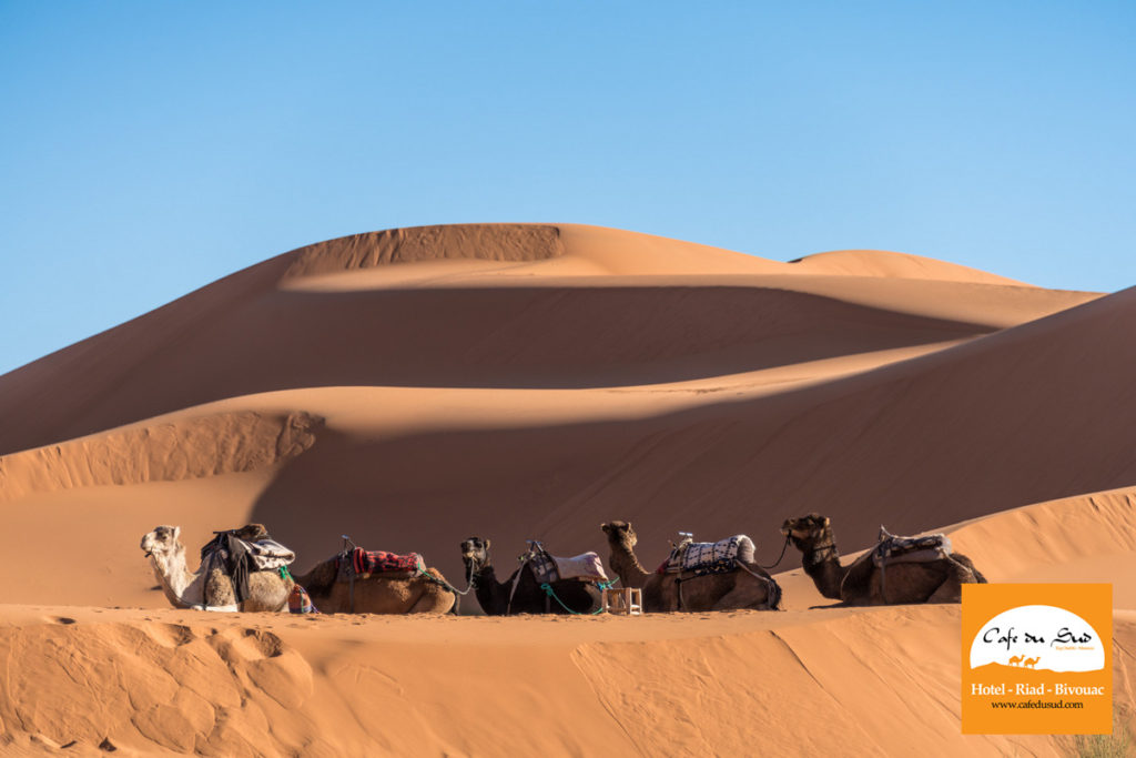 Camels and Erg Chebbi Dunes